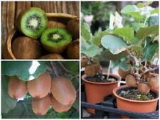 Organic Kiwi 100 Seeds Bonsai Tree Green Professional Pack Free Shipping Garden