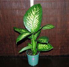 "New Item~Dieffenbachia Tropic Snow LARGE 6"" Pots Tropical House Plant *Beautiful"