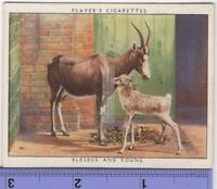 Blesbok and Young  South Africa Antelope c80  Y/O Ad Trade Card