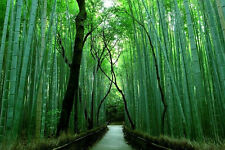 "10 Semi di Bamboo Gigante ""ARUNDINACEA BAMBUSA"",.."