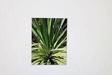 10 Seeds Cordyline australis,Piston tree,Clubs lily, # 37