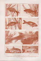 1911 Naturale Storia Double Sided Stampa ~ Globe-Fish Copper-Fish / Carpa Tribe