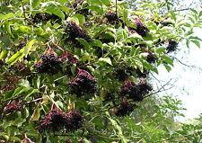 5 Schwarzer Holunder Sambucus nigra  60 - 100 cm wurzelnackt