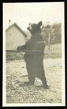 Antique Animal Photo Taxidermy Bear