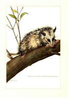 Alter Farbdruck: Opossum Original 1958 no copy Druck Bild Geschenkidee Wanddekor