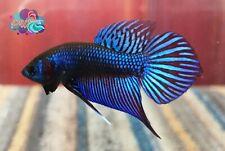 JUNIOR LIVE BETTA FISH BREEDING PAIR M/F BLUE MAHACHAI PHO TAIL WILD TYPE (WT41)