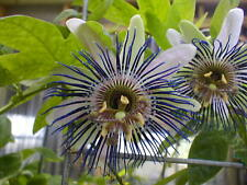 Passiflora bryoniodes Cupped passionflower 10 seeds
