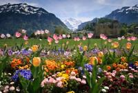Flowers in a Garden in Interlaken Photo Art Print Poster 24x36 inch
