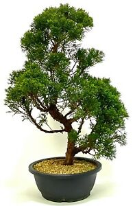 Large Shaped Chinese Juniper Bonsai tree - excellent movement and styling option