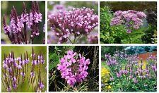 Pink Vervain Wild Perennial Flower     25  Seeds