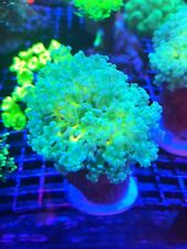 Large Orange Mouth Frogspawn!!!!WYSIWYG Live Coral Frag - Pop Corals Candy Shop