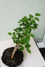 Morus, Dwarf Mulberry ever bearing fruit tree, pre Bonsai Fast growing plant
