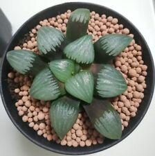 9cm Correcta Haworthia Comptioniana Succulent live Plant Home Garden Flower pot