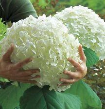 90 Seeds White Hydrangea Plant Flower Garden Pot Unique Rare Giant DIY Seed New