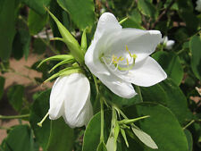 "25 seed Orchid tree/ Bauhinia acuminata /""White bauhinia "" Fresh  August  2017"