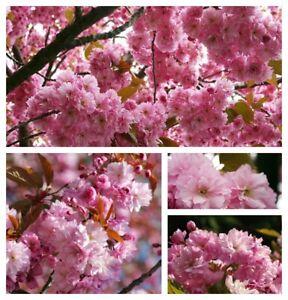 Japanische Zierkirsche Kanzan 80/100cm starke ~ Rosa Blütenwolken