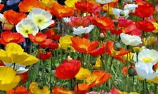 Papaver nudicaule 'Panama Mix'  X 6 Large Plug Plants Hardy Perennial poppy