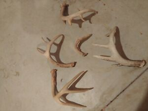 Whitetail deer antlers sheds