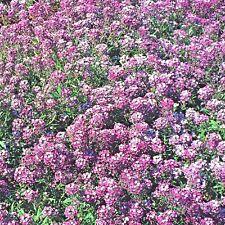 Alyssum Royal Carpet Lobularia Maritima - Appx 5000 Seeds Flower