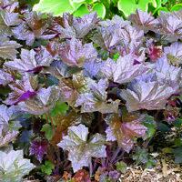 Heuchera - Bressington Hybrids - 1000 Seeds