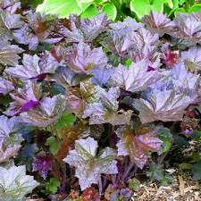 Heuchera - Bressington Hybrids - 1000 Seeds