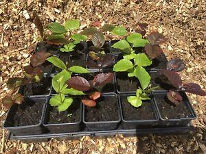 Beech tree seedlings, Green and Purple varieties