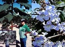 Unbekannter Baumriese Blauglockenbaum Intensive Blüten