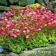 Pimpinela Rose Bata-Pimpinela arendsii - 1000 semillas-rocosa Perenne Flor