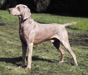 Dog Muzzle Size #5 Fits Breeds Like Weimaraner