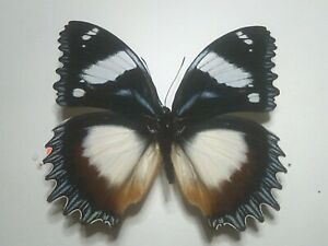 Real Insect/Butterfly/Moth Set Spread B7816 Rare Large Hypolimnas dexithea