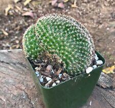 NICE A++ Red Cap Crest Mammillaria cristata 4in UNIQUE Crested Cactus Succulent