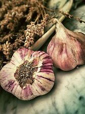 NATURE PLANT VEGETABLE GARLIC BULB FOOD COOL POSTER ART PRINT PICTURE BB1612A