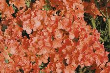 Zwergazalee Satschiko 20-25cm Rhododendron obtusum Frühlingsblüher