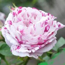 VARIEGATA  Rose Bush Seeds - Rare, Exotic & Beautiful  (20+ pc) USA SELLER