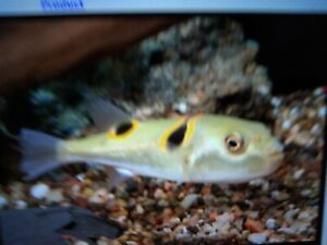 Fugu Puffers- Live Tropical Fish