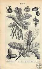 Antique print eik oak leaf blad Quercus robur boom tree