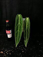 Anthurium warocqueanum dark and narrow form