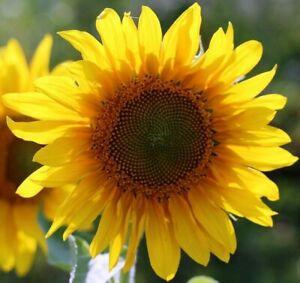 Seeds Sunflower Yellow Giant Ornamental Titan Annual Flower Garden Ukraine