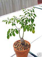 8 graines de NEVERDIER( Moringa Oleifera)CAUDEX G129 MIRACLE TREE SEEDS SEMILLAS