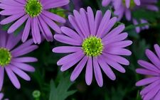 5 Brachyscome Mauve Delight Daisy Flowering Native Garden Plants Tubes Color