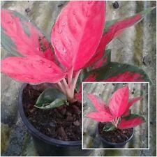 Aglaonema Plant Soem Sap Red Leaves Chinese evergreens King Of Foliage Plant