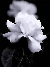 Natura Nero Bianco Rosa Petalo Fiore Poster Art Print Picture bb98a