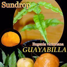 ~GUAYABILLA~ Eugenia victoriana SUNDROP FRUIT TREE Live small Potd Starter Plant