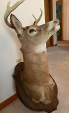New listing 6 Point Whitetail Deer Head Shoulder Mount Taxidermy Mounted Shed Antler Rack