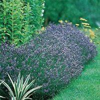 Lavender- Hidcote- Blue- 50 Seeds- BOGO 50% off SALE