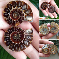 1pc Half Cut Ammonite  Natural Shell Jurrassic Fossil Specimen Madagascar UK