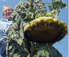 20 Giant Mongolian Sunflower Seeds