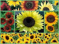 Sunflower Seeds, Sensational Sunflowers 5pk Special, Heirloom Sunflower Seeds