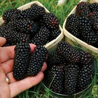 USA-BLACKBERRY 50PCS SEEDSMEDICINAL ANTIOXIDANT FIBER HEALTHFUL TRIPLE CROWN
