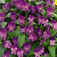 Viola- Admiration - 50 Seeds- BOGO 50% off SALE
